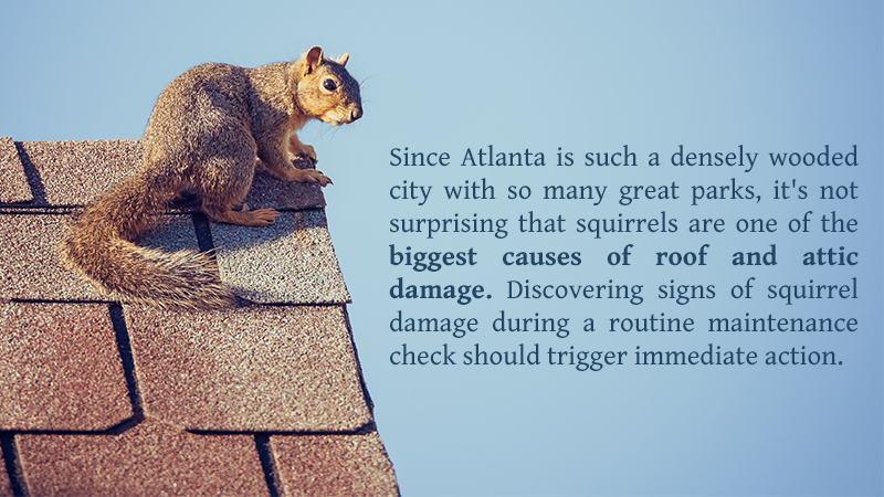 Since Atlanta is such a densely wooded city with so many great parks, it's not surprising that squirrels are one of the biggest causes of roof and attic damage. Discovering signs of squirrel damage during a routine maintenance check should trigger immediate action.