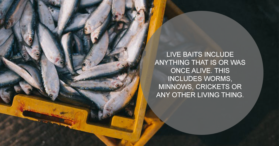 Live baits include anything that is or was once alive. This includes worms, minnows, crickets or any other living thing.