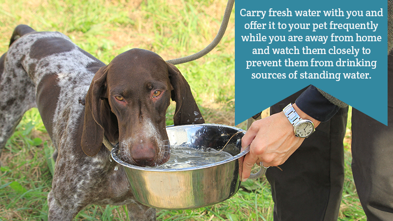 Carry fresh water with you and offer it to your pet frequently while you are away from home and watch them closely to prevent them from drinking sources of standing water.