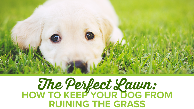 The Perfect Lawn: How to Keep Your Dog from Ruining the Grass