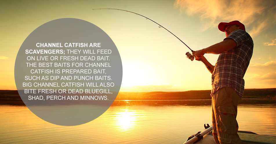 Channel catfish are scavengers; they will feed on live or fresh dead bait. The best baits for channel catfish is prepared bait, such as dip and punch baits. Big channel catfish will also bite fresh or dead bluegill, shad, perch and minnows.