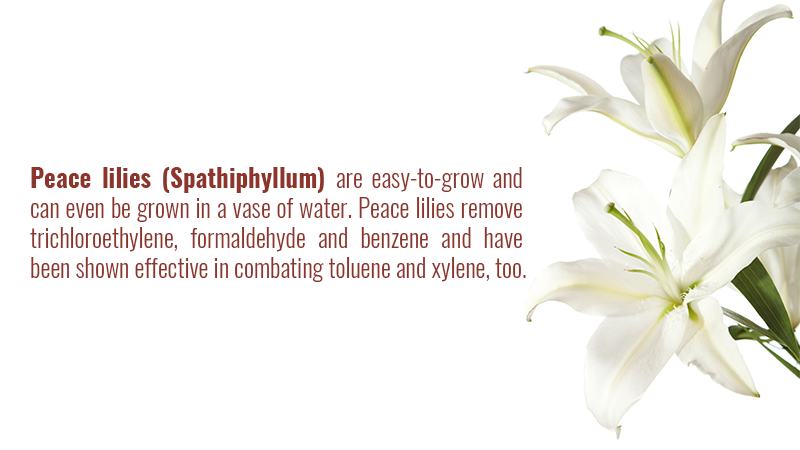 Peace lilies remove trichloroethylene, formaldehyde and benzene and have been shown effective in combating toluene and xylene, too.