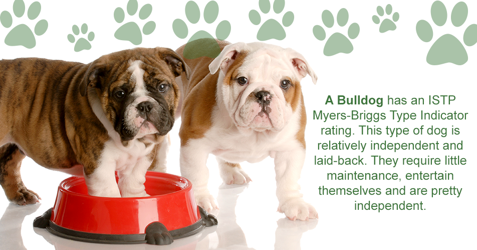 A Bulldog has an ISTP Myers-Briggs Type Indicator rating. This type of dog is relatively independent and laid-back. They require little maintenance, entertain themselves and are pretty independent.