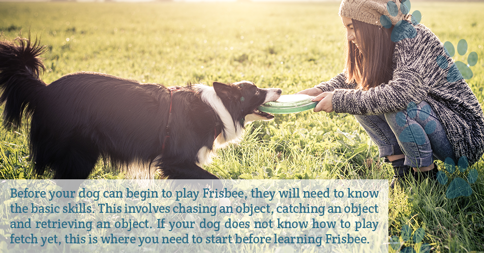 Before your dog can begin to play Frisbee, they will need to know the basic skills. This involves chasing an object, catching an object and retrieving an object. If your dog does not know how to play fetch yet, this is where you need to start before learning Frisbee.