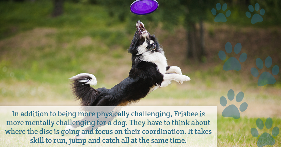 In addition to being more physically challenging, Frisbee is more mentally challenging for a dog. They have to think about where the disc is going and focus on their coordination. It takes skill to run, jump and catch all at the same time.