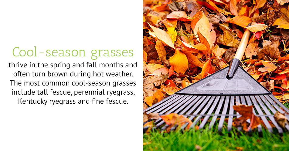 Cool-season grasses thrive in the spring and fall months and often turn brown during hot weather. The most common cool-season grasses include tall fescue, perennial ryegrass, Kentucky ryegrass and fine fescue.