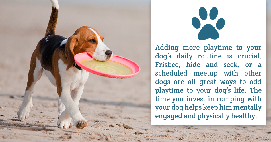Adding more playtime to your dog's daily routine is crucial. Frisbee, hide and seek, or a scheduled meetup with other dogs are all great ways to add playtime to your dog's life. The time you invest in romping with your dog helps keep him mentally engaged and physically healthy.