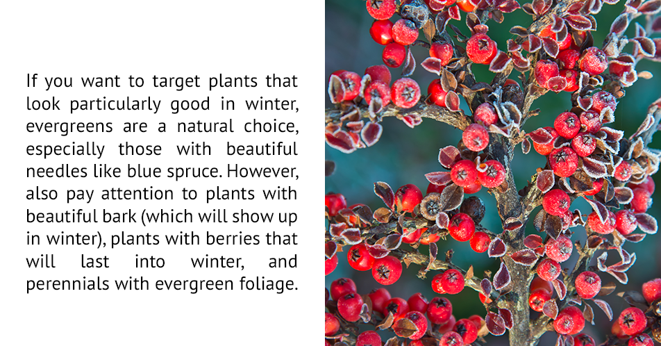 If you want to target plants that look particularly good in winter, evergreens are a natural choice, especially those with beautiful needles like blue spruce. However, also pay attention to plants will beautiful bark (which will show up in winter), plants with berries that will last into winter, and perennials with evergreen foliage.