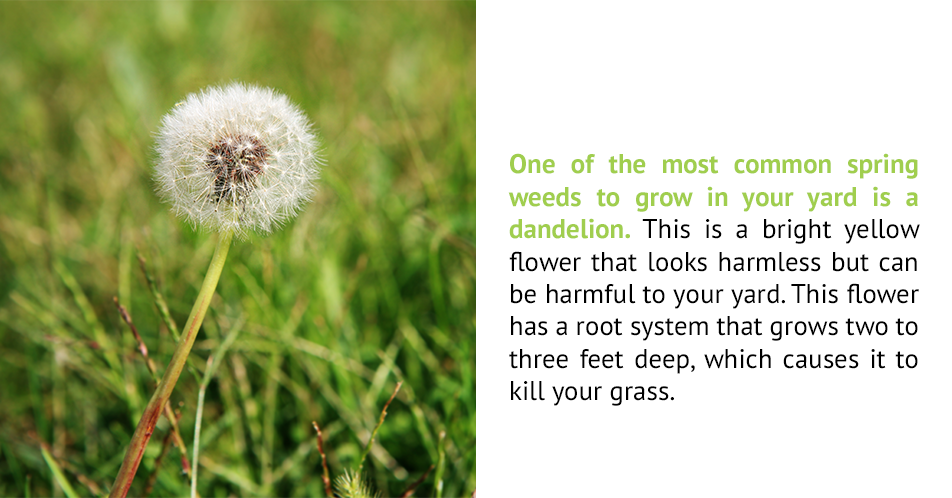 One of the most common spring weeds to grow in your yard is a dandelion. This is a bright yellow flower that looks harmless but can be harmful to your yard. This flower has a root system that grows two to three feet deep, which causes it to kill your grass.