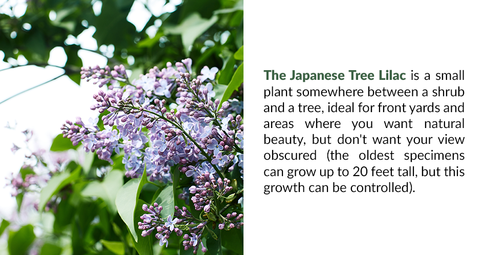 The Japanese Tree Lilac is a small plant somewhere between a shrub and a tree, ideal for front yards and areas where you want natural beauty, but don't want your view obscured (the oldest specimens can grow up to 20 feet tall, but this growth can be controlled).