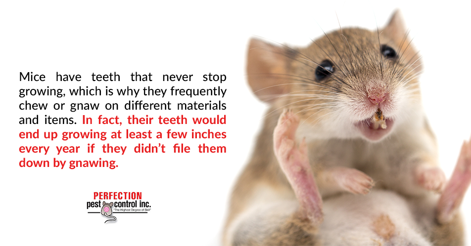 Mice have teeth that never stop growing, which is why they frequently chew or gnaw on different materials and items. In fact, their teeth would end up growing at least a few inches every year if they didn't file them down by gnawing.