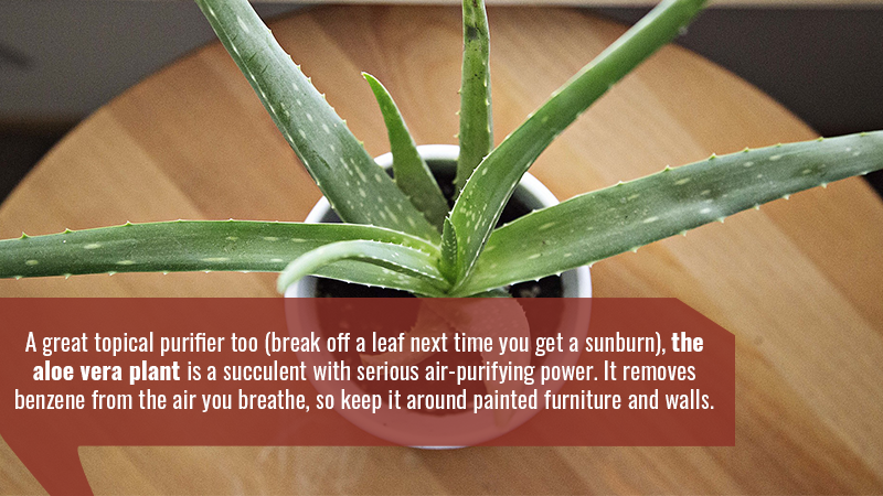 A great topical purifier too (break off a leaf next time you get a sunburn), the aloe vera plant is a succulent with serious air-purifying power. It removes benzene from the air you breathe, so keep it around painted furniture and walls.