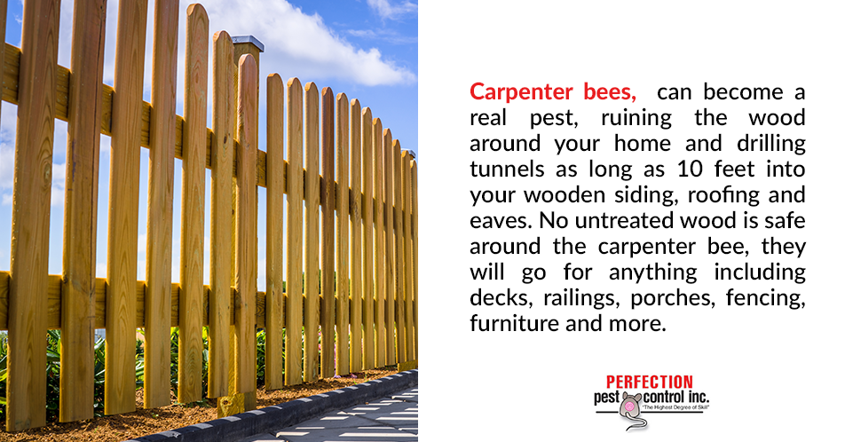 Carpenter bees, can become a real pest, ruining the wood around your home and drilling tunnels as long as 10 feet into your wooden siding, roofing and eaves. No untreated wood is safe around the carpenter bee, they will go for anything including decks, railings, porches, fencing, furniture and more.
