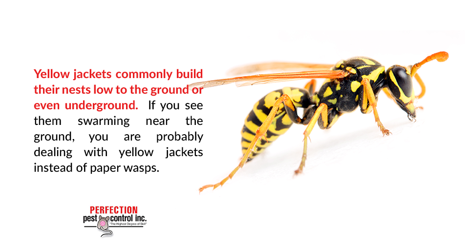 Yellow jackets commonly build their nests low to the ground or even underground. If you see them swarming near the ground, you are probably dealing with yellow jackets instead of paper wasps.
