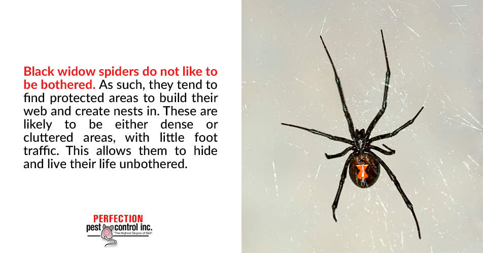 Black widow spiders do not like to be bothered. As such, they tend to find protected areas to build their web and create nests in. These are likely to be either dense or cluttered areas, with little foot traffic. This allows them to hide and live their life unbothered.