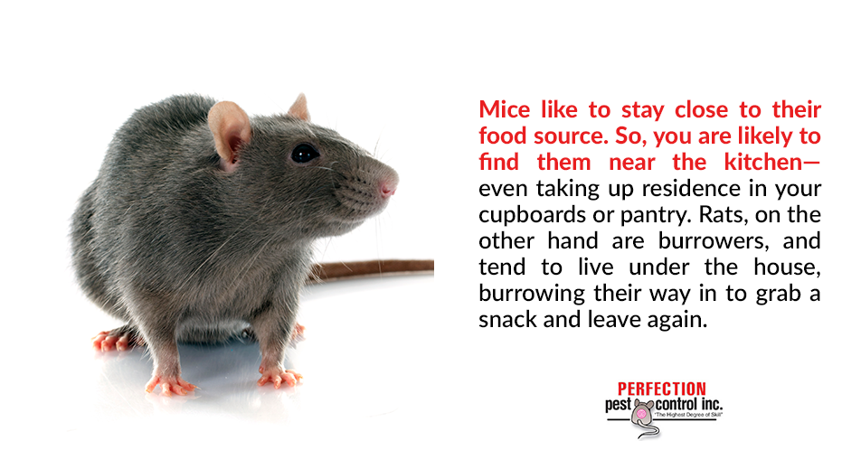 Mice like to stay close to their food source. So, you are likely to find them near the kitchen – even taking up residence in your cupboards or pantry. Rats, on the other hand are burrowers, and tend to live under the house, burrowing their way in to grab a snack and leave again.
